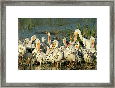 A Congregation Of White Pelicans Framed Print by Maresa Pryor