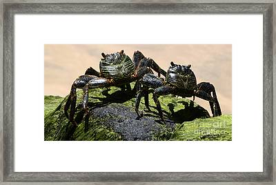 A Couple Of Crabs Brazil Framed Print