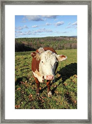A Cow At Wheel-view Farm, Shelburne Framed Print