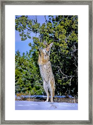 A Coyote Stands To Eat Framed Print by Martha Marks