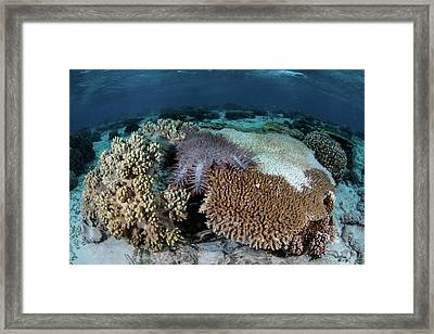 A Crown-of-thorns Sea Star Feeds Framed Print by Ethan Daniels