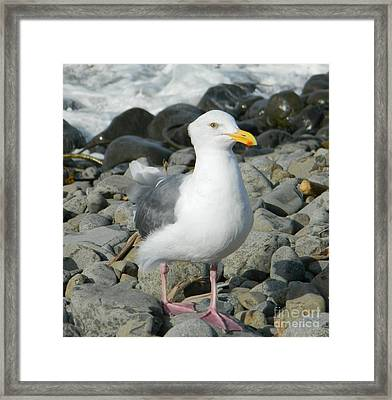 Framed Print featuring the photograph A Curious Seagull by Chalet Roome-Rigdon
