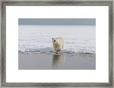 A Curious Young Polar Bear Plays Framed Print