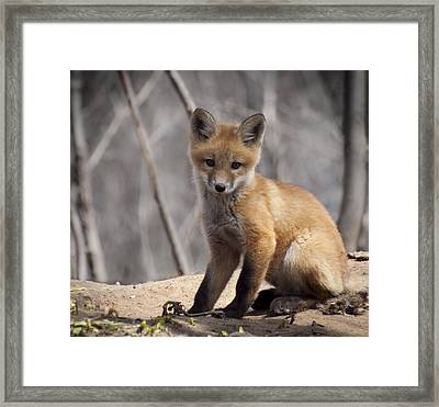 A Cute Kit Fox Portrait 1 Framed Print by Thomas Young