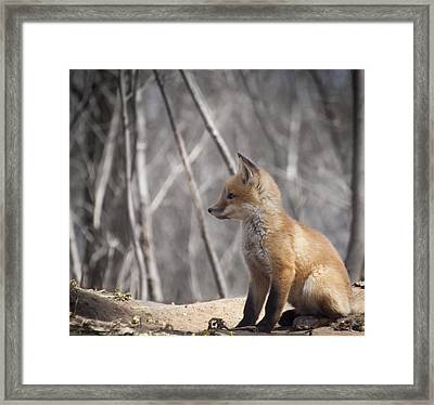 A Cute Kit Fox Portrait 2 Framed Print by Thomas Young
