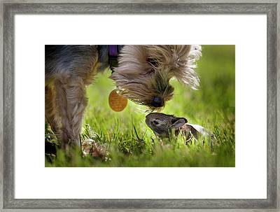 A Cute Yorkie Dog Sniffing A Little Framed Print by Joey Hayes