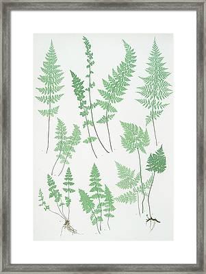 A. Cystopteris Fragilis. B. C. Regia. C. C Framed Print