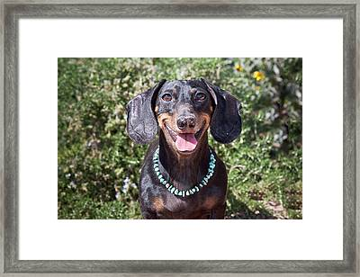 A Dachshund Smiling With Turquoise Framed Print by Zandria Muench Beraldo