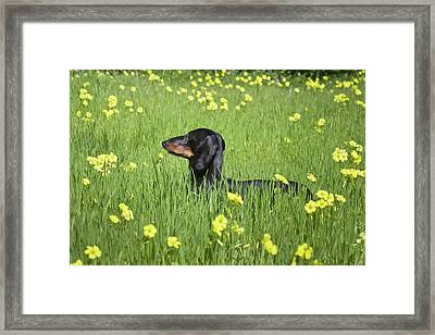 A Dachshund Standing In A Field Framed Print