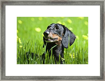 A Dachshund Standing In Field Framed Print