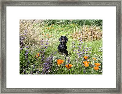 A Dachshund Standing On A Small Rock Framed Print by Zandria Muench Beraldo