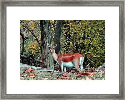 A Deer Look Framed Print
