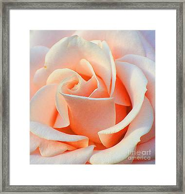 A Delicate Rose Framed Print by Cindy Manero