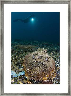 A Diver Looks On At A Giant Stonefish Framed Print by Steve Jones