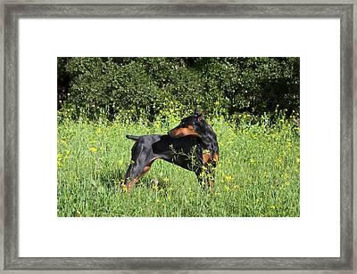A Doberman Pinscher Looking Framed Print by Zandria Muench Beraldo
