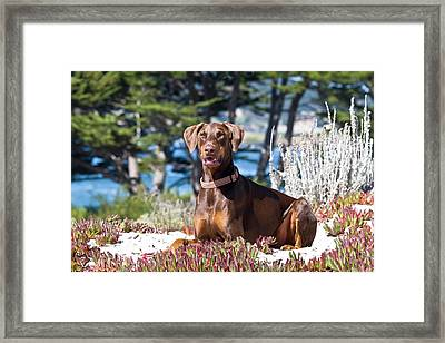 A Doberman Pinscher Lying In The White Framed Print by Zandria Muench Beraldo