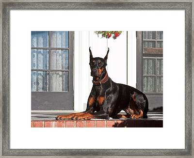A Doberman Pinscher Lying On A Red Framed Print by Zandria Muench Beraldo