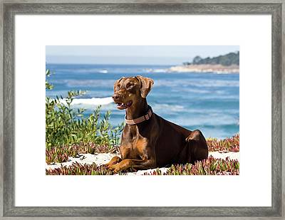 A Doberman Pinscher Lying On The White Framed Print by Zandria Muench Beraldo
