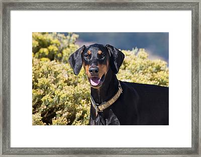 A Doberman Pinscher Standing In Front Framed Print by Zandria Muench Beraldo