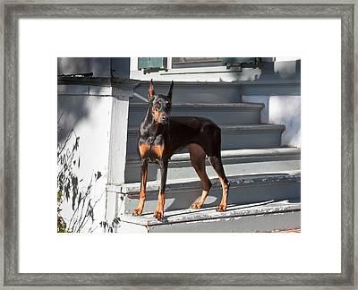 A Doberman Pinscher Standing On Stairs Framed Print by Zandria Muench Beraldo