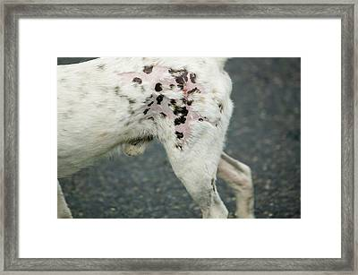 A Dog With Mange Framed Print by Ashley Cooper