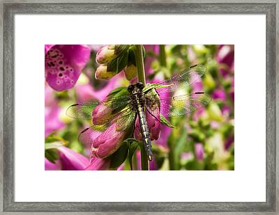 A Dragon Fly Resting In A Forest Of Foxgloves Framed Print by Thomas Pettengill