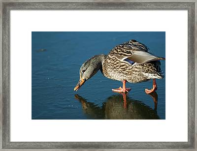 A Duck On Ice The Mallard Is A Dabbling Framed Print by Richard Wright