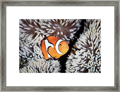 A False Anemonefish Amphiprion Framed Print by Ethan Daniels
