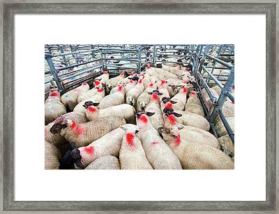 A Famers Auction Market In South Molton Framed Print by Ashley Cooper