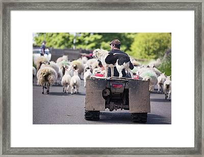 A Farmer Droving Sheep From A Quad Bike Framed Print