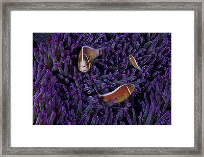 A Female Pink Clownfish Asserts Framed Print by David Doubilet