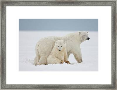 A Female Polar Bear And Her Two Cubs Framed Print by Hugh Rose
