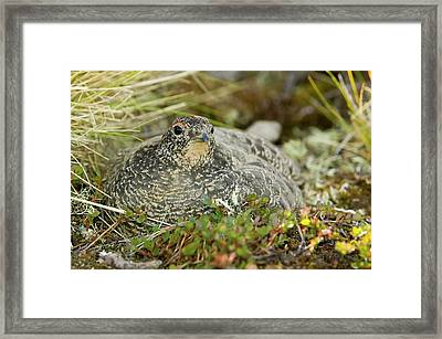 A Female Ptarmigan Sat On A Nest Framed Print by Ashley Cooper