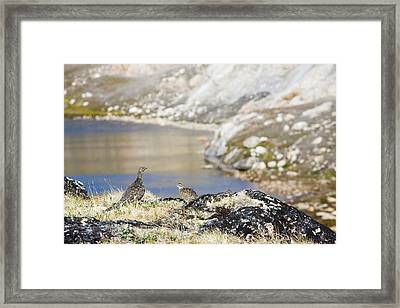 A Female Ptarmigan With Young Framed Print by Ashley Cooper