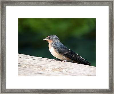 A Female Purple Martin Is Watching You Framed Print by Eva Kaufman