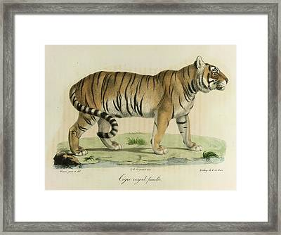 A Female Royal Tiger Framed Print by British Library