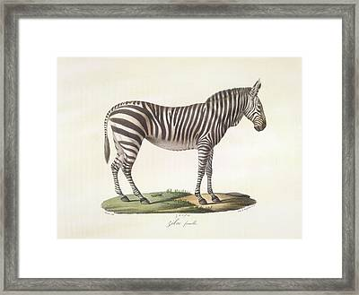 A Female Zebra. Framed Print by British Library