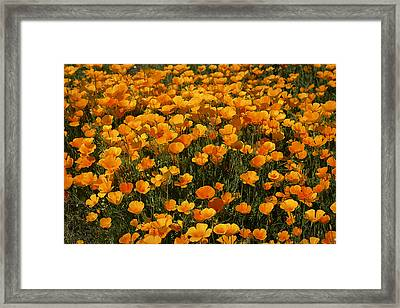 A Field Of Poppies Framed Print