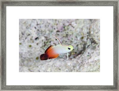 A Fire Dartfish Swims Above A Reef Framed Print by Ethan Daniels