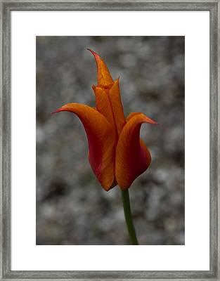 A Flamboyant Flame Tulip In A Pebble Garden Framed Print by Georgia Mizuleva