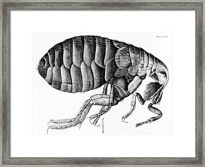 A Flea From Microscope Observation Framed Print