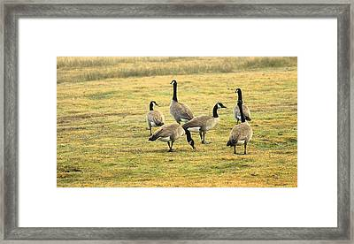 A Flock Of Canada Geese Framed Print by Rima Biswas