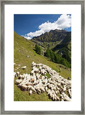 A Flock Of Sheep By The Refuge Bertone Framed Print by Ashley Cooper