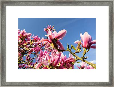 A Flowering Magnolia Tree Framed Print by Ashley Cooper