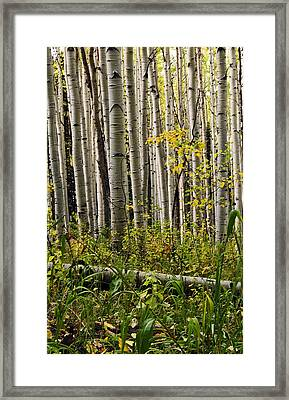 A Forest Of Aspen Framed Print