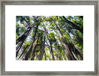 A Forest Of Bald Cypress Trees In The Caddo Lake Area Framed Print by Ellie Teramoto