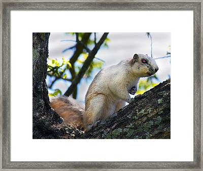 A Fox Squirrel Pauses Framed Print by Betsy Knapp