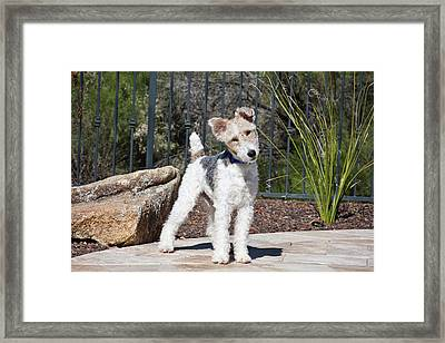 A Fox Terrier Puppy Standing On A Patio Framed Print