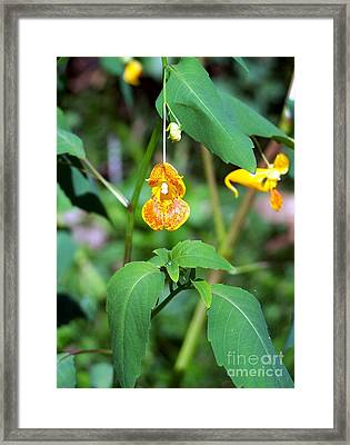 Framed Print featuring the photograph A Fragile Flower by Chalet Roome-Rigdon