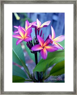 A  Frangipani Tree In Bloom Framed Print by Steven Valkenberg